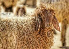 #صباح_الخير  #صبحهم_بالخير #animals #Sheep #goats #مكشات #Sheeps  #تصويري #القصيم #الربيعية #روضة الصريف #hdr #sonyalpha #landscape #لاندسكيب #عدستي #كشته #تصوير_عدستي #خروف #حيوانات #السعودية #الكويت #الامارات #قطر #البحرين #عمان #WHPcamouflage  #عرب_فوت (photography AbdullahAlSaeed) Tags: animals landscape sheep goats sheeps hdr كشته حيوانات الامارات عدستي الكويت البحرين عمان تصويري قطر السعودية صباحالخير sonyalpha خروف روضة القصيم مكشات لاندسكيب الربيعية عربفوتو اصدقاءالضوء تصويرعدستي صبحهمبالخير whpcamouflage