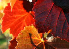 Autumn Colours (Axxolotl) Tags: autumn fall nature colorful fallcolors herbst natur autumnleaves autumncolours fallfoliage vineyards colourful bunt herbstlaub badenwrttemberg weinblatt weinberge vineleaves weinbau herbstfarben wengert herbstlich remstal weinstadt