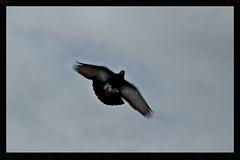 Pigeon (Zelda Wynn) Tags: bird weather cloudy pigeon flight auckland impressionist troposphere zeldawynnphotography