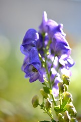 (myu-myu) Tags: flower nature japan nikon mygarden  monkshood d800 aconitum  makroplanart2100zf