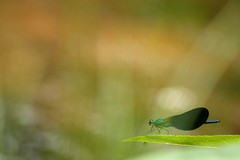 Caballito (Antonio Martnez Toms) Tags: insecto odonata zygoptera caballitodeldiablo invertebrado