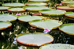 Lily pads, Mauritius. Photo by Alex Faundez