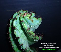 "Cereus peruvianus var. ""Spiralis"" (Stem apex/top detailed Pic 2) (mattslandscape) Tags: blue cactus plant green peru fruit cereus kakteen peruvianus repandus spiralis monstrose spiraled repandans"