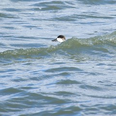 8F9A1280.jpg (ericvdb) Tags: bird duck muskegon ruddyduck wastewaterplant