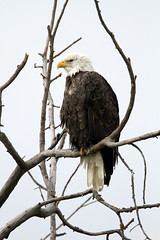 Bald Eagle (Photos by Dennis Swayze) Tags: bird eagle heclaisland manitobaeagle