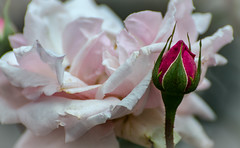 my time has gone its your begining (sanlapb) Tags: pink red flower up rose garden close n