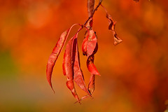 Autumn colors... #Finland (L.Lahtinen (nature photography)) Tags: autumn october leaves bokeh red autumnleaves fallcolors syksy finland nature nikon flickr suomi luonto lokakuu plant lehdet light d3200 nikond3200 55300mm 7dwf europe