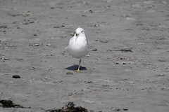 Balance (gdenuzzio12) Tags: beach one seagull leg nh rye