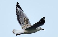 Juvenille Silver Gull (angeladowntown) Tags: seagull seabirds silvergull birdsofaustralia juvenillesilvergull