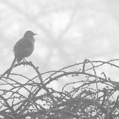 it was a foggy morning (mimbrava) Tags: blackandwhite bird fog mimbrava arr northernmockingbird mockingbird mimuspolyglottos allrightsreserved mimbravastudio mimeisenberg