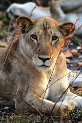 Piercing Eyes (DaveTaylor2014) Tags: wild orange colour grass animal fur tanzania eyes wildlife coat lion pride safari lioness pemba