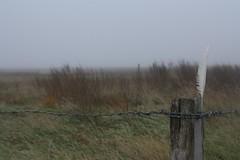 Sie sind hier berall (im_fluss) Tags: hallig grde nordsee wiese meadow feather feder zaun fence