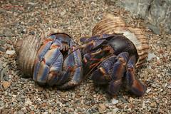 Blueberry hermit crab -Okinawa (Okinawa Nature Photography) Tags: hermitcrabs hermit crustaceans crabsofjapan beachphotography shawnmmillerphotography okinawanaturephotography canonoutdoors