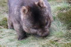 Wombat (Ne_Obliviscaris) Tags: wombat cradle mountain tasmania australia