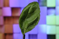 Hoja Albahaca 2 (cuartocolor) Tags: cuartocolor verde albahaca basil green leaf