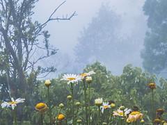 Foggy morning from behind a bush (hastuwi) Tags: probolinggo jawatimur indonesia idn eastjava bromo flower misty morning foggy yellow kuning