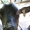 Czy te oko może kłamać? (poprostuflaga) Tags: czechy czech cesko tschechen goat koza