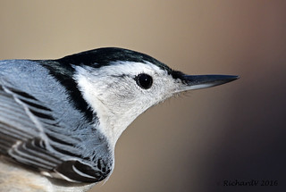 Sitelle à poitrine blanche/White-breasted Nuthatch