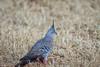 Crested Pigeon (gus.meredith) Tags: birds bushbirds crestedpigeons karratha ocyphapslophotes canon7dii canon7dmk2 canon7dmark2 canon ef100400mmf4556lisiiusm australian australia naturalworld floraandfauna wildlife nature fauna westernaustralia perth
