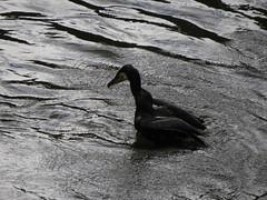 IMG_6720 (Marko_J_Aho) Tags: bath bird england greatcormorant merimetso phalacrocoraxcarbo somerset