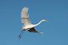 Concorde ... (Jacques GUILLE) Tags: 09 ardeaalba ardéidés ariège domainedesoiseaux grandeaigrette mazères pélécaniformes westerngreategret bird oiseau