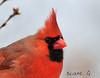 Male Cardinal    35 (Diane G. Zooms---Mostly Off) Tags: cardinal malecardinal redbirds wildbirds northernmalecardinal birdsonlongisland dianegiurcophotography cardinalphotos cardinalphotosnow coth coth5 sunrays5 fantasticnature