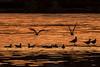 Last Light (Craig Hannah) Tags: lastlight sunset birds gulls seagull blackheadedgull royalgeorge greenfield saddleworth pennine westriding yorkshire craighannah 2017 england uk oldham greatermanchester nature wildlife colours glow millpond pond water lake