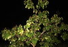 Foxglove Tree  in Staten Island, New York, USA. October, 2016. (Tom Turner - NYC) Tags: tree nature night tomturner newyork statenisland invasive nyc bigapple usa unitedstates leaves fruit branches foxglovetree pauloniatomentosa princesstree empresstree