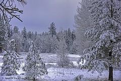 Tis Winter (jimgspokane) Tags: turnbullwildliferefuge winter washingtonstate trees forests otw