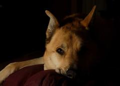 boobear1_ (BooBoopdx) Tags: nikon d7100 afs dx 1685mm f3556 pets dog portrait single flash neewer tt560
