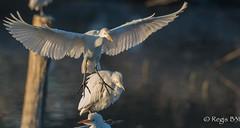 Avec tous mes voeux... (Régis B 31) Tags: ardéidés bubulcusibis hérongardeboeufs pélécaniformes westerncattleegret ariège bird domainedesoiseaux mazères oiseau
