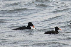 Surf Scoters (Terrance Carr) Tags: 201201 brunswick ferry dncb port terry carr 20120109 2012 january terrycarr