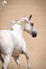 DSC_0340-2 (Yrsa Iris Photography) Tags: gallop nature horse animal free wild white