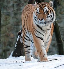 amurtiger Taymir Ouwehands JN6A2510 (j.a.kok) Tags: taymir tijger tiger amoertijger amurtiger siberischetijger siberiantiger siberie siberian asia azie predatot mammal zoogdier