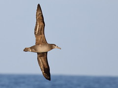 Black-footed Albatross (Phoebastria nigripes) (sp. # 132) (SharifUddin59) Tags: albatross blackfootedalbatross phoebastrianigripes kona pelagic marinebird seabird bif birdinflight bird ocean oceanbird hawaii pacificocean