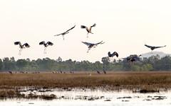 Sarus crane - The tallest flying birds (trai_thang1211) Tags: birds saruscrane crane fields flyingbirds tree ricefield cambodia iucn red list redlist threatened species threatenedspecies data book redbook