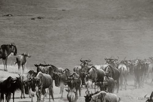 Nyus de Ngoro Ngoro - Tanzània - Ngoro Ngoro Wildebeest