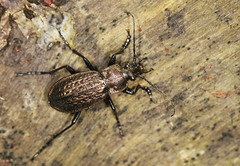 Ground Beetle - Carabus granulatus