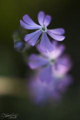 Trío (Dancodan) Tags: fb nikon d7100 bokeh desenfoque takumar 55mm takumar55mmf18 flor flores campo naturaleza málaga amanecer plantas monte jardín