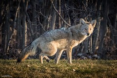 Lone Hunter (59roadking - Jim Johnston) Tags: ifttt 500px coyote wildlife animal wild mammal winter beautiful forest