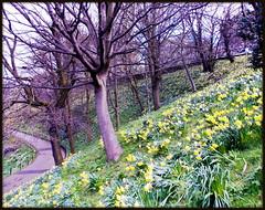 Spring in the Gardens (SarahThomson99) Tags: flowers yellow gardens garden spring nikon edinburgh parks blooms daffodils daffs midlothian scoland nikonl810