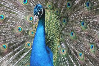 pauw / peacock