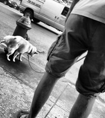 morning relief (simply innocuous) Tags: bw grayscale dog groomed man legs sidewalk concrete van nyc hydrant canine peepee peeing urinating urination relief relieving legup city urban ciudad shorts shortpants butt leash leashed piss pissing squirting squirt draining perro perrito