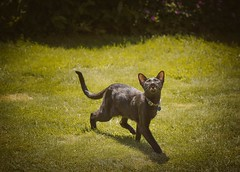 Hugo, showing the birds his friendliest smile (DavidS_UK) Tags: uk black cute grass animal cat garden furry feline teeth tail siamese ears oriental moggie meezer
