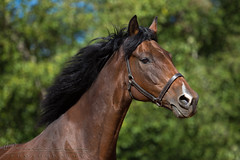 Rusty (equichannel) Tags: portrait horse green eye beautiful canon photography flying outdoor background running follow expressive morgan equestrian halter equine mane facebook 6d qh danasova