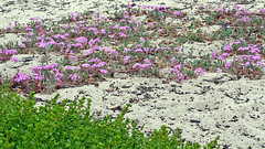 California-06617 - Sand Flowers (archer10 (Dennis) 149M Views) Tags: california flowers usa sand sony unitedstatesofamerica free dennis jarvis pacificgrove asilomarstatebeach pointpinos iamcanadian freepicture dennisjarvis archer10 dennisgjarvis