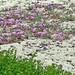 California-06617 - Sand Flowers