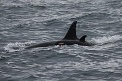 Magic L122 (SanJuanOrcas) Tags: ocean sea wild island san juan wildlife killer whale orca cetacean