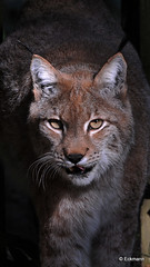 Eye on you (Nephentes Phinena ☮) Tags: lynx luchs eurasianlynx wildparklüneburgerheide eurasischerluchs nikond300s