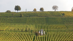 A small, white house between vines (#RK) Tags: autumn sun white house green art nature germany deutschland nikon image vine sunny grn grape wein rk trauben astounding mllheim dreilndereck weinreben markgrflerland l830